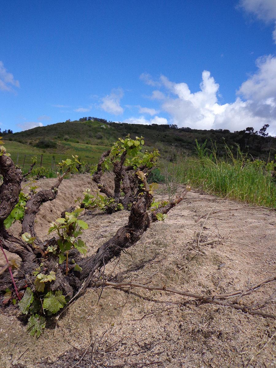 Vieilles vignes au Swartland