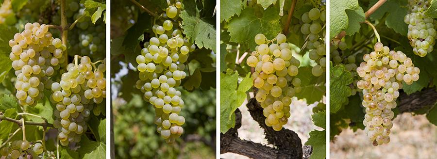 Grenache blanc, Clairette, Carignan blanc et Picpoul - ©InterRhône