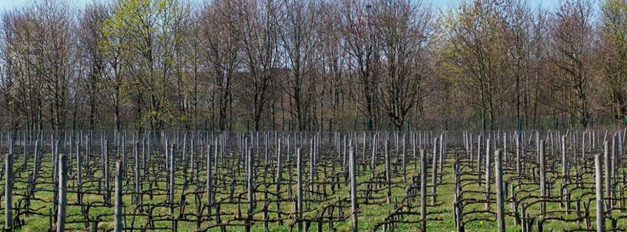 Les vignes du Sausset sont gérées par le Conseil général de Seine-Saint-Denis, qui fait déguster les vins lors de manifestations.